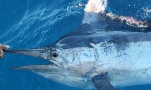 striped marlin exmouth